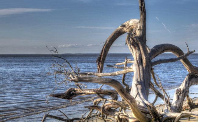 Driftwood of Jekyll Island