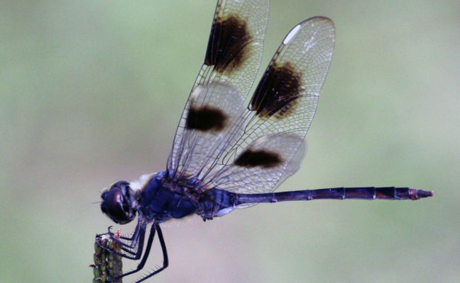 Royal Purple – A Four-spotted Pennant
